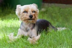 Hund - Yorkshire-Terrier Lizenzfreie Stockfotografie