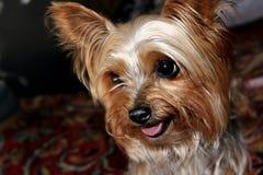 Hund Yorkshire Terrier arkivbild