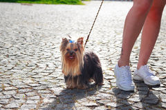 Hund Yorkshires Terrier auf dem grünen Gras Stockbilder