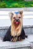 Hund Yorkshires Terrier auf dem grünen Gras Lizenzfreie Stockfotografie