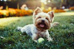 Hund Yorkshires Terrier, der auf dem grünen Gras läuft Lizenzfreies Stockfoto