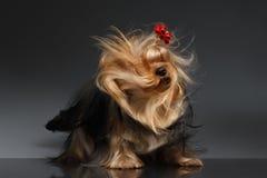 Hund Yorkshires Terrier, der seinen Kopf auf schwarzem Spiegel rüttelt stockfotografie