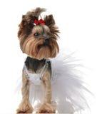 Hund Yorkshires Terrier kleidete oben für die Heirat wie Brautstellung an Stockbilder