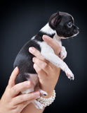 Hund Zucht - Chihuahua Lizenzfreie Stockfotografie