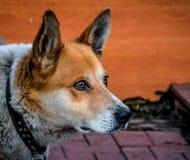 Hund, zuverlässiger Begleiter, Haustier, Rot, Anstarren, scharfes gla Lizenzfreie Stockfotografie