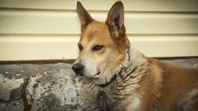 Hund, zuverlässiger Begleiter, Haustier, Rot, Anstarren, scharfes gla Lizenzfreie Stockfotos