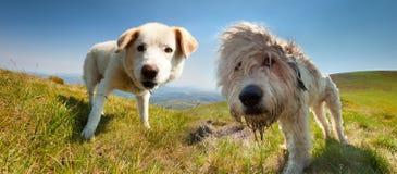 Hund zwei des Schäferhunds lizenzfreies stockbild