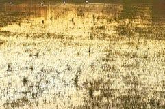 Hunda en amarillo brillante coloreada puesta del sol y con las cuchillas de la hierba que emergen del agua Fotos de archivo