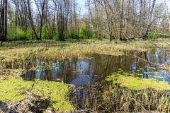 Hunda en bosque con la reflexión en el agua de árboles, pantano del bosque Imagenes de archivo