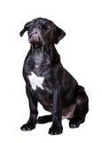 Hundafrikan Boerboel Royaltyfri Foto