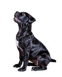 Hundafrikan Boerboel Arkivbild