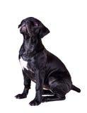 Hundafrikan Boerboel Arkivfoton