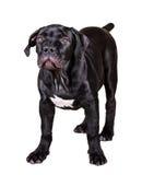 Hundafrikan Boerboel Royaltyfri Bild