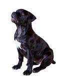 Hundafrikan Boerboel Royaltyfria Foton