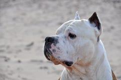 Hundamerikanischer Staffordshire-Terrier Lizenzfreies Stockfoto