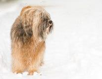 Hundanseende för tibetan terrier i snön Arkivbilder