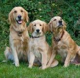 hundar Fotografering för Bildbyråer