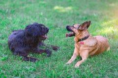 hundar bergamascoherden är den tyska herden arkivfoto