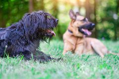 hundar bergamascoherden är den tyska herden som vilar i mjödet royaltyfri fotografi
