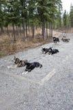hundar exploaterade sleden arkivbilder