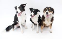 hundar isolerade tre royaltyfri bild