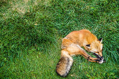 hundar l5At att sova för lie arkivfoto
