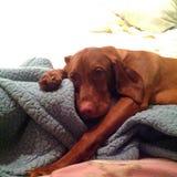 hundar l5At att sova för lie Royaltyfri Fotografi