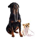 Hundar med kragen och koppelet Royaltyfri Fotografi