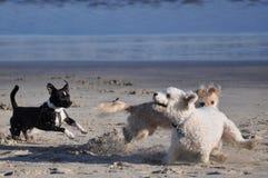 Hundar på stranden Arkivbild