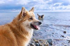 Hundar på stranden Arkivfoto
