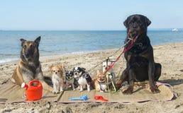 Hundar på stranden Arkivbilder