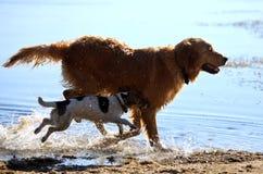 hundar play två Arkivfoto