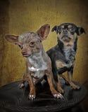 hundar poserar två royaltyfria foton