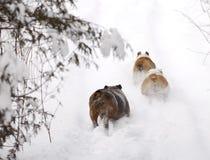 Hundar som kör i snow Fotografering för Bildbyråer