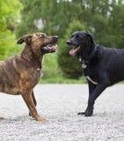 hundar som leker lyckligt två arkivfoto