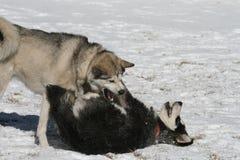 hundar som leker snow royaltyfria foton
