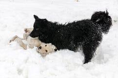 hundar som leker snow två royaltyfria foton
