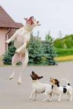 hundar som leker tre royaltyfri foto