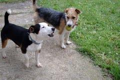 hundar som leker två Arkivfoto