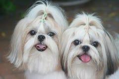 hundar som ler två royaltyfri foto