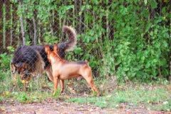 hundar som möter två royaltyfri fotografi