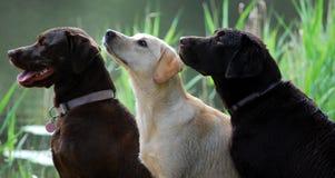 hundar till väntande arbete royaltyfri bild