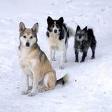 hundar tre Arkivbilder
