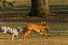 hundar två royaltyfria bilder