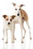 hundar två Fotografering för Bildbyråer