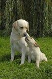 hundar två royaltyfri foto