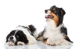 hundar två Arkivbild
