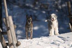 hundar två arkivfoton