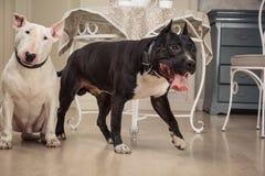 hundar två Den svarta terriern för groptjuren eller staphorshireoch vit mer bulterrier är i tappninginre Arkivfoton