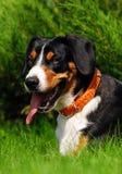 hundarbetsuppgift arkivfoto